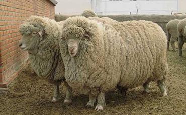 斯塔夫洛波尔细毛羊,斯塔夫洛波尔细毛羊品种介绍