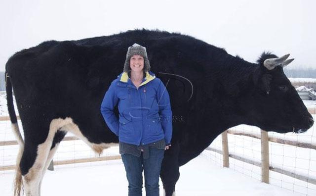 加拿大超级黑牛