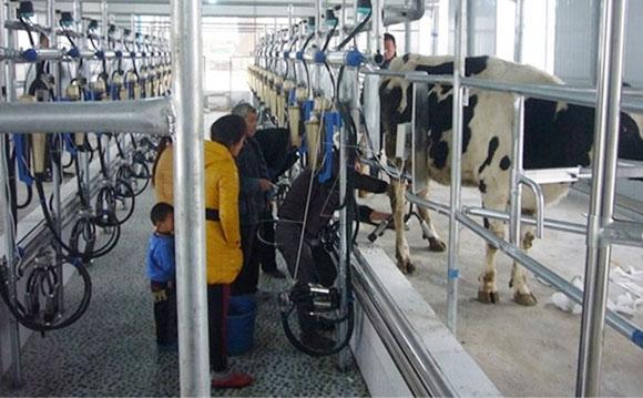 鱼骨式奶牛挤奶机
