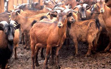 努比山羊的体型特征及饲养管理方法