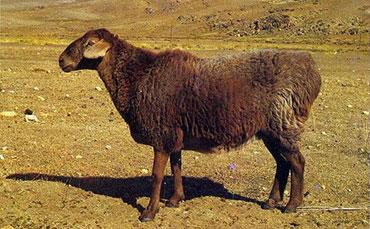 阿勒泰羊的品种特征及生活习性简介