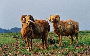 哈萨克羊的品种特征及生产性能