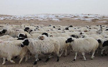 苏尼特羊(戈壁羊)的地区分布及外形特征