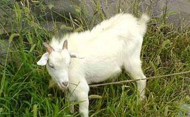 白山羊的繁育性能及地区分布
