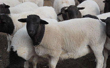 杜泊绵羊的外形特点、生活习性及种群分布
