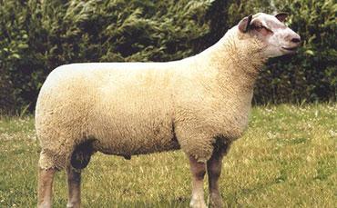 短毛型肉用细毛羊品种——夏洛来羊简介