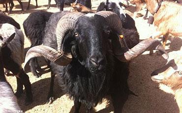 乌骨羊的品种特点及饲养技术分享