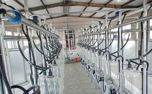 新东机械鱼骨式挤奶厅西藏某客户施