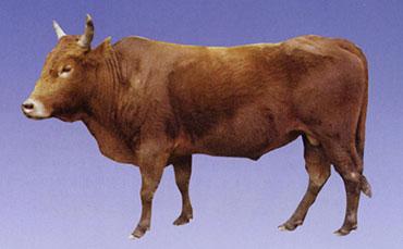 川南山地黄牛的品种描述及性能特征