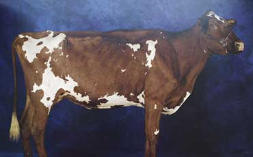 肉用短角牛的体型外貌品种简介