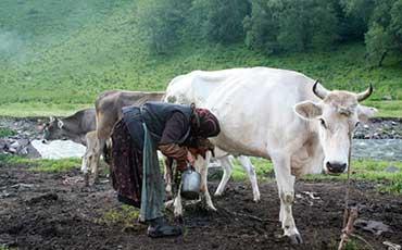 哈萨克牛品种特征及外貌特征详述