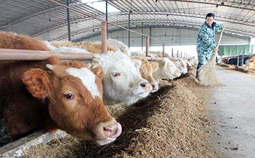 農村養50頭牛的成本大概多少錢?