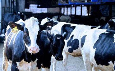 夏季奶牛養殖要注意哪些問題?