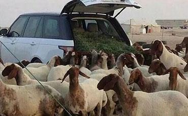 新疆喀什的刀郎羊价格任性,牧民放牧也够任性!