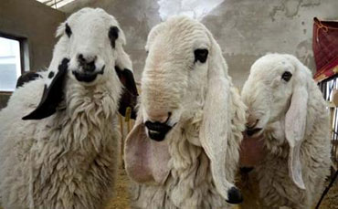 """新疆1200万天价""""刀郎羊""""史上最贵 学名瓦格吉尔羊"""