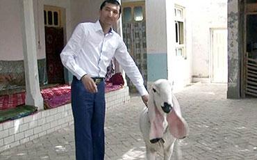 新疆现阿富汗血统瓦格吉尔羊 标价1200万元天价叫卖