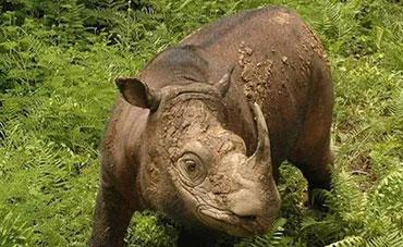 苏门答腊犀牛,世界上最小的犀牛,全球