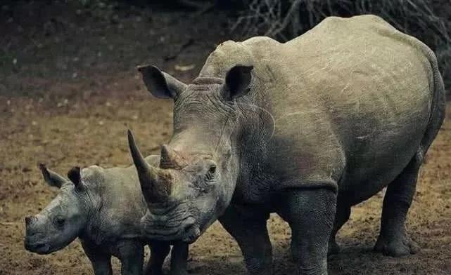苏门答腊犀牛