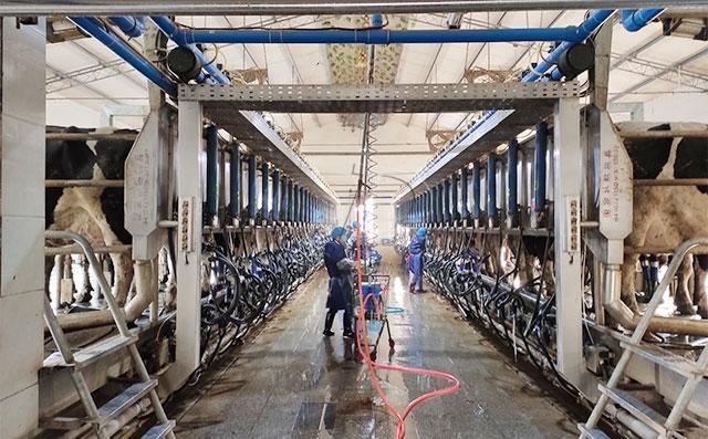 我公司并列式奶牛擠奶廳河南某牧場客戶現場